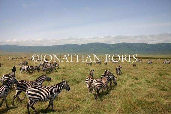 Zebra Herd in Ngorongoro Crater- Tanzania, Africa- 8x10 Print