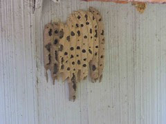 O is for organ pipe wasp nest