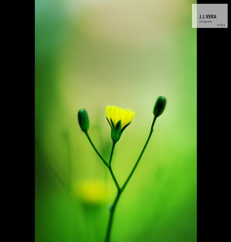 Flor groga, a Olzinelles by Juanjo Vera