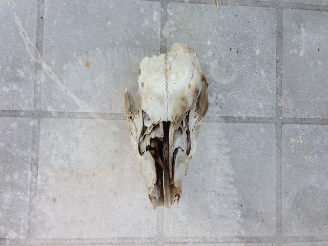 FOUND • Deer Skull.