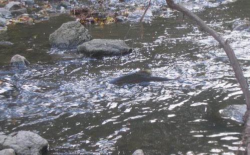Salmon in rapids 2