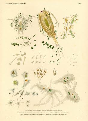 Colacium, Distigma, Eipipyxis, Dinobryon, Amoeba
