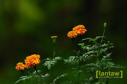 Imugan Flowers