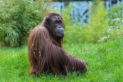 Самка орангутана примерила очки туристки и очаровала пользователей