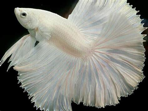 albino betta fish picture      cell phone