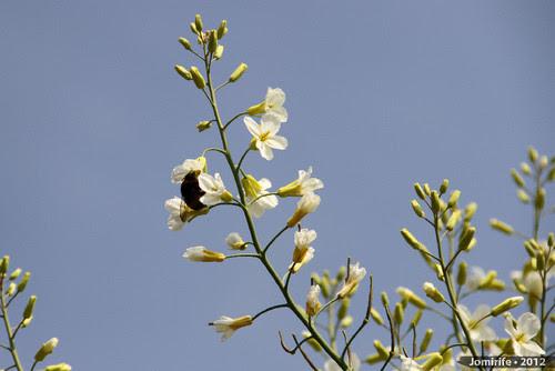 Abelhas a tirar o pólen das flores (2)