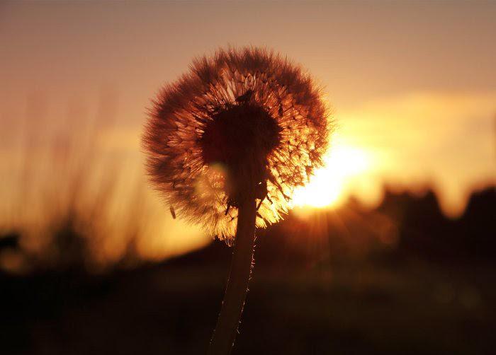 Dawn Dandelion Seed
