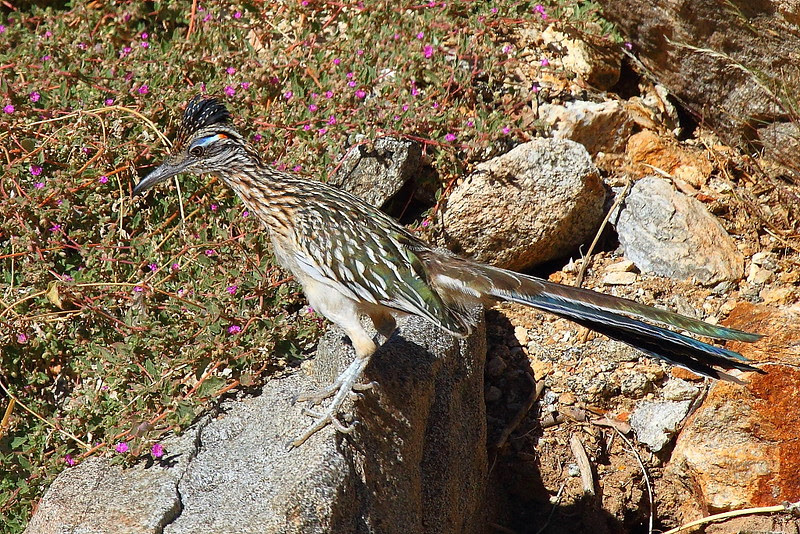 IMG_1502 Greater Roadrunner