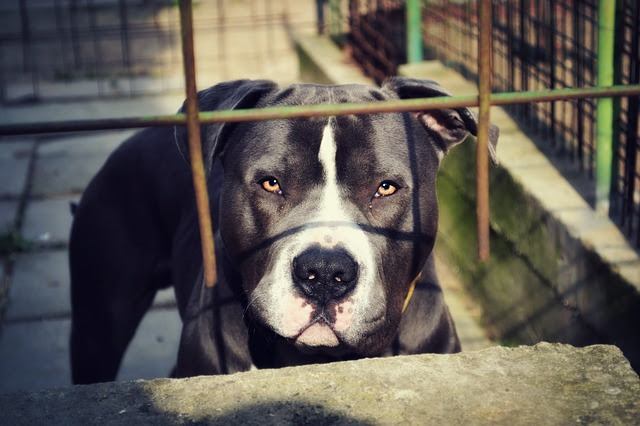 Pit Bulls Are Dangerous = Myth