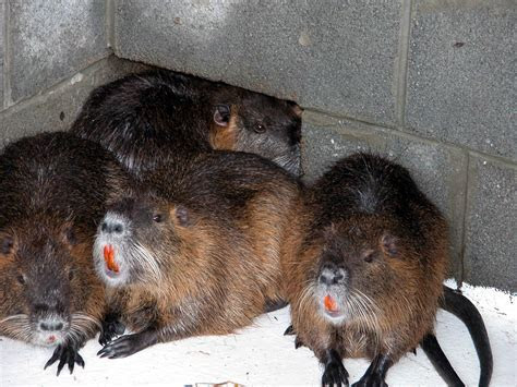 File:Nutria or coypu animals myocastor coypus   Wikimedia Commons