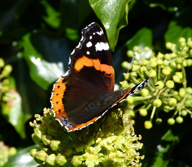 28915 - Red Admiral, Slade