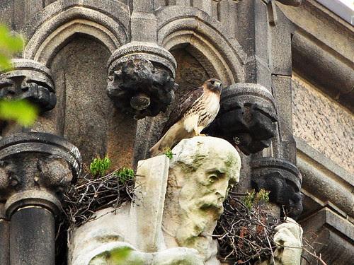 Hawk on Head