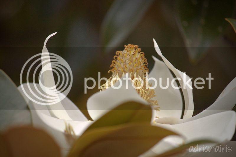 photo magnolia_zpsfef09230.jpg