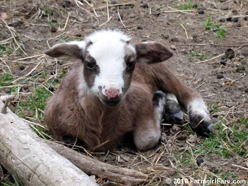Random Lamb Cute 1