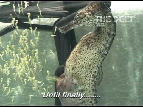 video que muestra el Nacimiento de 1800 Caballitos de Mar