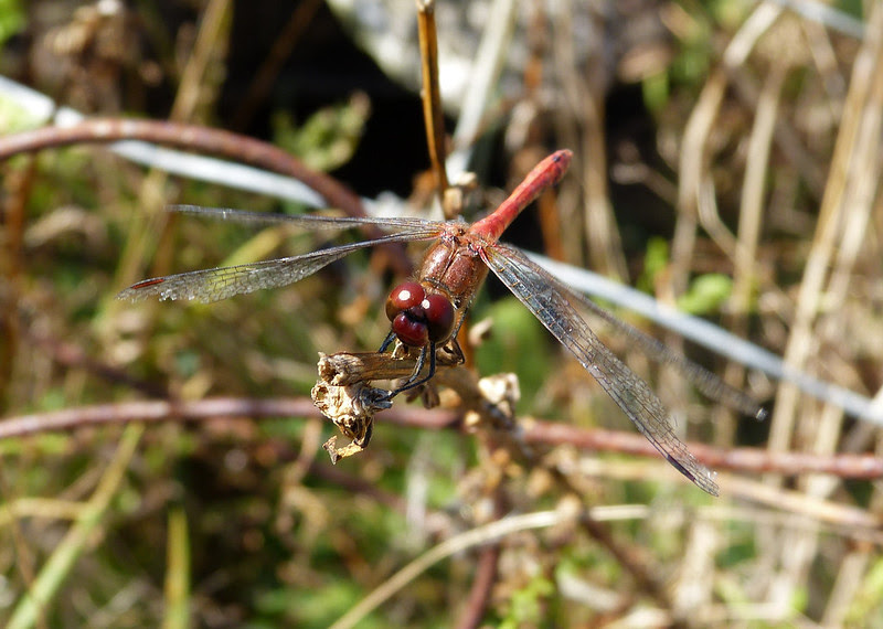Common Darter, Oare Marshes