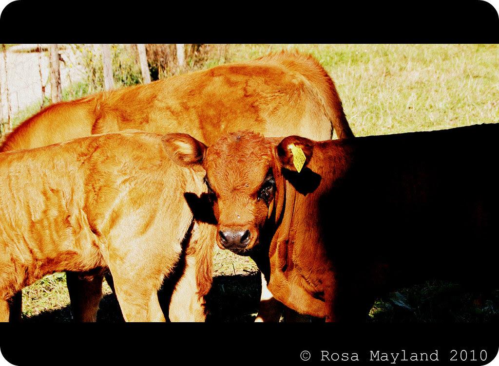 Cows 7.2 bis