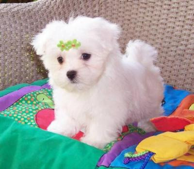 maltese puppies for free adoption