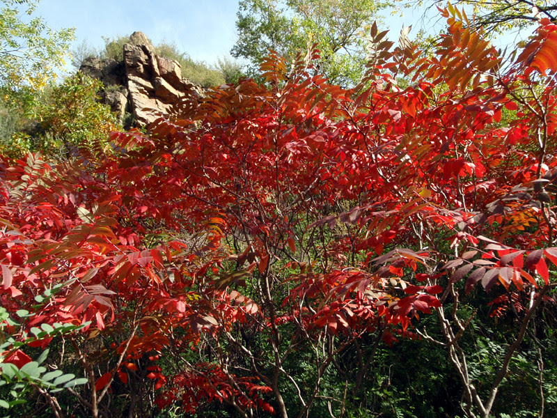 Sumac, sporting lots of red, intermix with the Gambel oak of Waterton Canyon, Colorado.