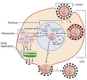 A diagram of influenza viral cell invasion and...
