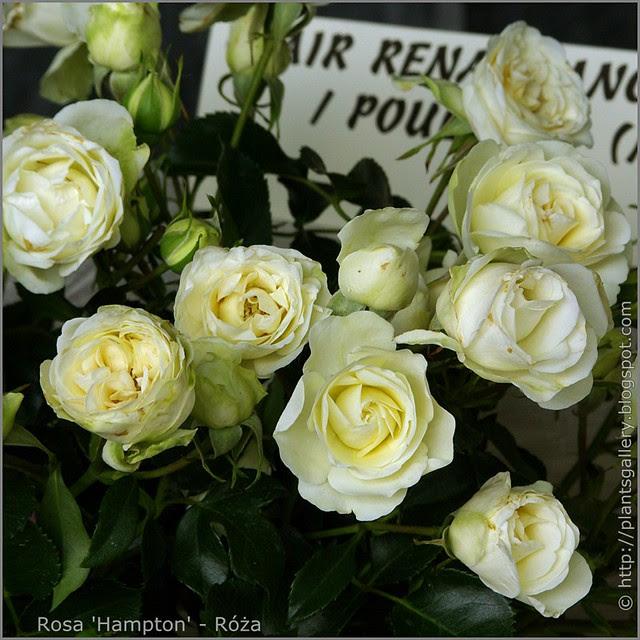 Rosa 'Hampton' - Róża 'Hampton'