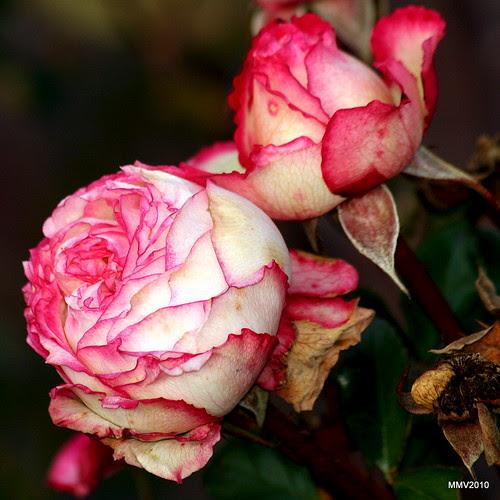 rosas en otoño