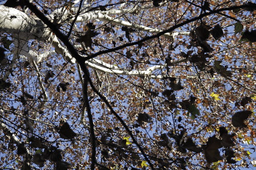 Torino tree 2