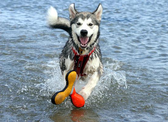 Alaskan Husky Puppies For Sale In Missouri Dog Breeds