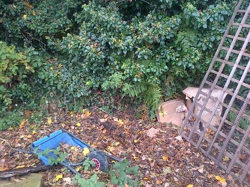Ivy hedge Nov 12