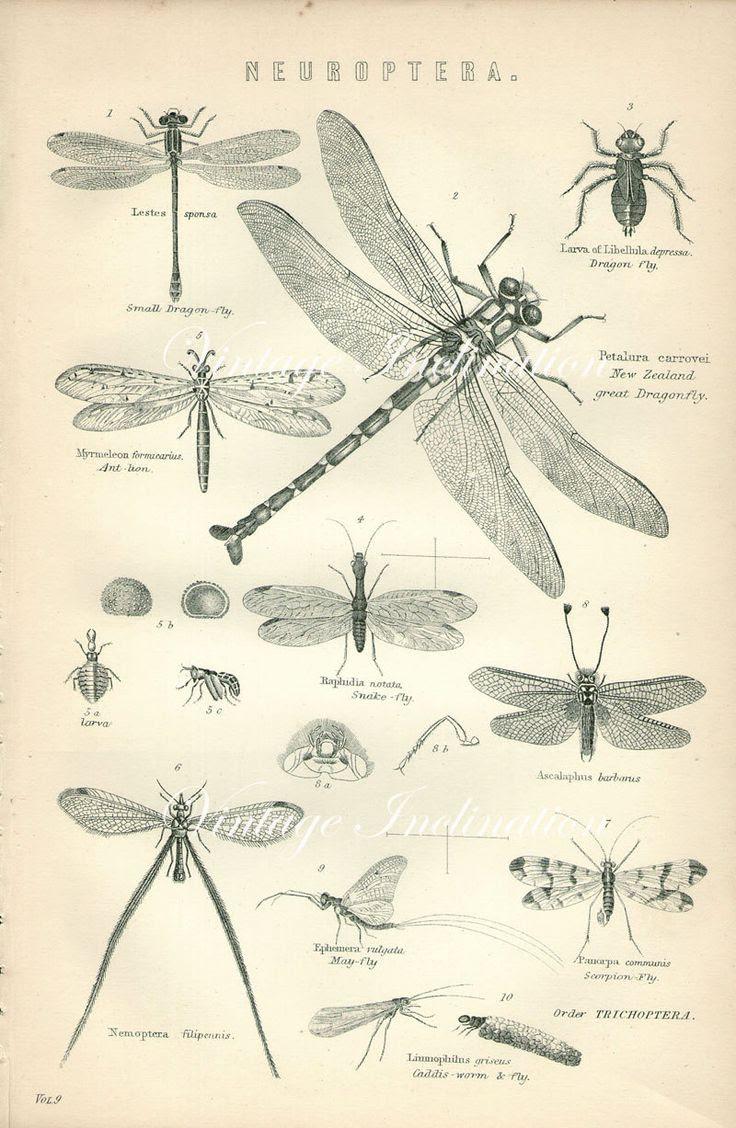 Antique Print, DRAGON FLY Chart 1890 beautiful wall art vintage b/