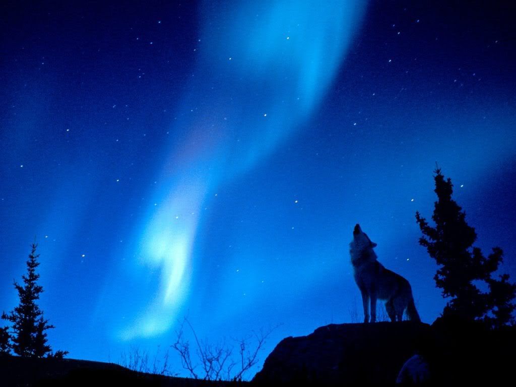 Wolf Howling At The Moon Wallpaper Sf Wallpaper