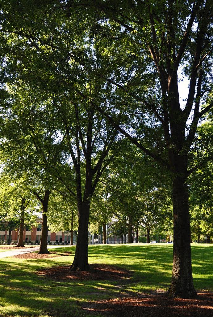 Quercus phellos (7)