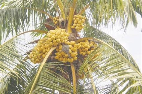 koleksi gambar pohon kelapa hibrida koleksi foto  gambar