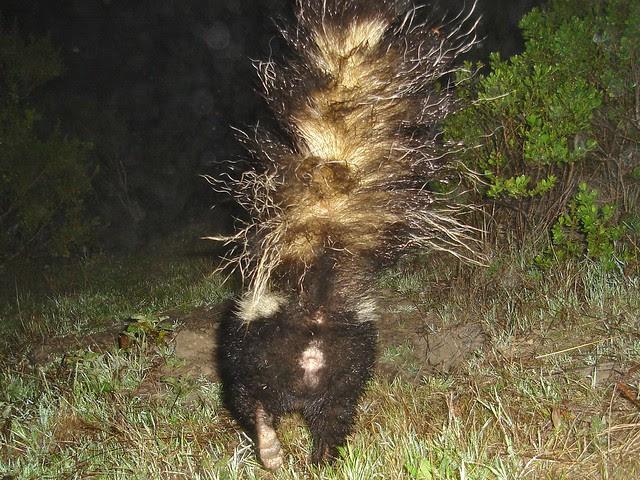 striped skunk butt