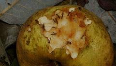 Filippa æbler med solsortehak