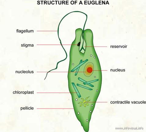 Euglena characteristics and well labelled diagram/chart