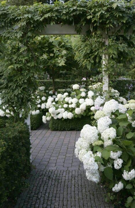 White Hydrangeas//