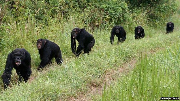 chimpancés en patrulla