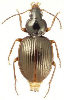 'Mecyclothorax ramagei', una nueva especie.   James K. Liebherr