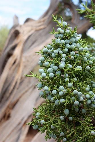 Juniper Berries 1
