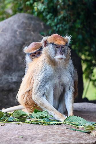 Patas Monkeys Grooming (Captive)