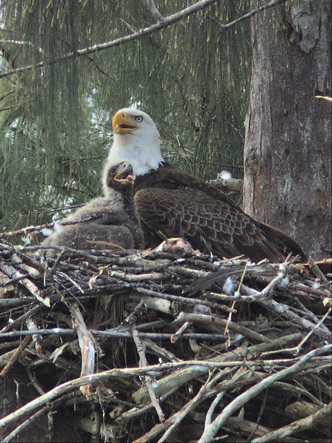Bald Eagle mother-daughter portrait 20140205