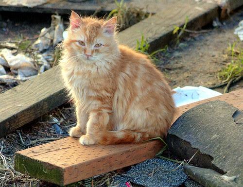 Fluffy Orange-Ginger Feral Kitten, Still With Us!