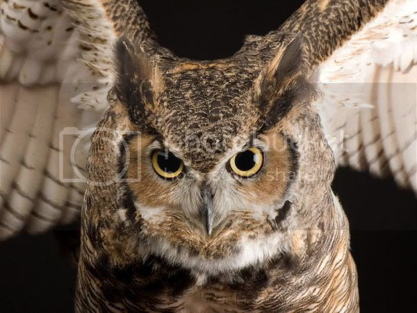 Great Horned Owl, National Geographic photo, Great Horned Owl, photo belongs to National Geographic