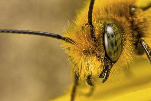 Miner Bee Portrait
