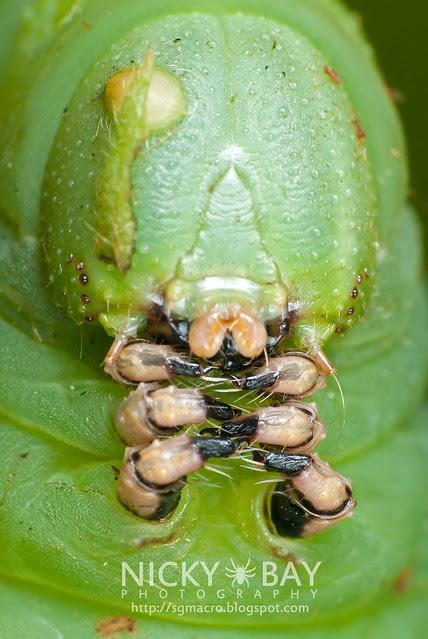 Hawkmoth larva - DSC_5014