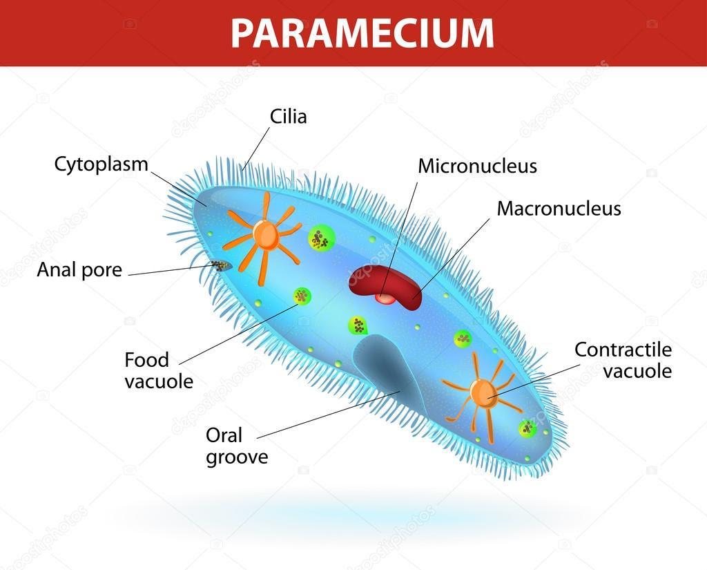 depositphotos_33378927 Structure of a paramecium