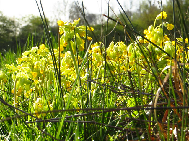 Cowslips on the Little Tumulus Field