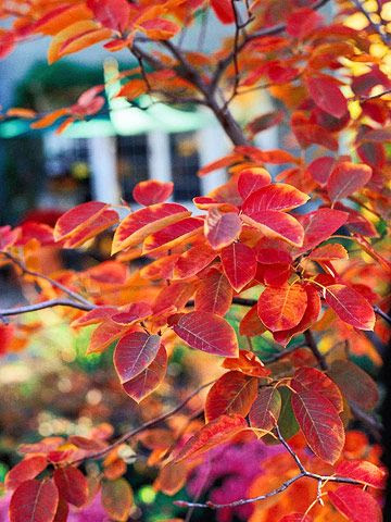Serviceberry - the plant's bright green or bluish green leaves turn stunning shades of red and orange in fall, and its silvery bark offers winter appeal.