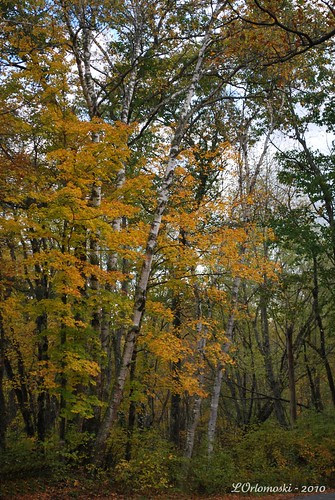 Birch trees and foliage